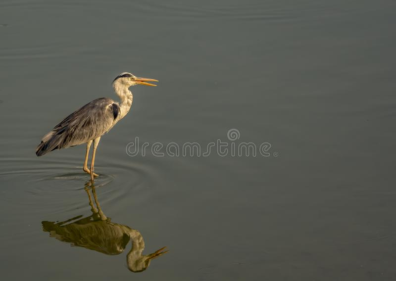 Reflection: Gray heron with beaks open on a lake. Behavior of herons to keep their beaks open and break occasionally. Ardea cinerea stock images