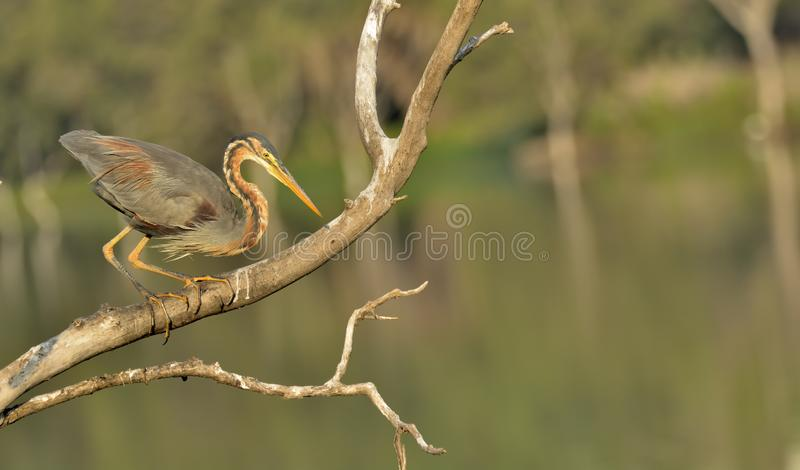 Portrait - Purple heron or Ardea purpurea. Behavior of herons to keep their beaks open and break occasionally. Purple herons are colonial breeders and build a stock image
