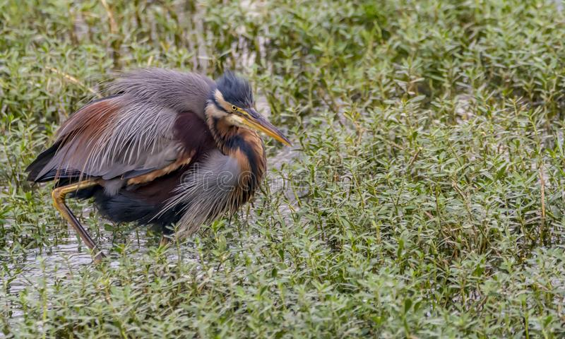 Ardea purpurea or the Purple heron feathers. Behavior of herons to keep their beaks open and break occasionally. Purple herons are colonial breeders and build a stock photography