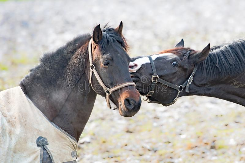 Horse emotion, horse kiss in spring. Behavior of horses in early spring royalty free stock photos