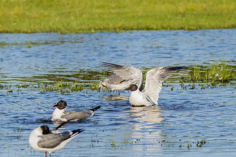 Behavior of Laughing Gulls in Breeding Plumage. Extending it`s wings while sitting in a blue pool of water near some grass, a white and black hooded gull with stock images