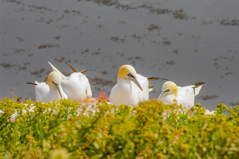 Behavior of wild nesting north Atlantic gannets at island Helgoland, Germany royalty free stock photos