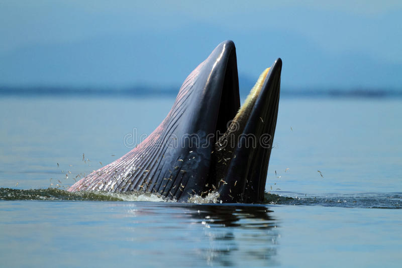 Behaviour , Bryde`s Whale eat anchovy fishes under the wave , P royalty free stock photography