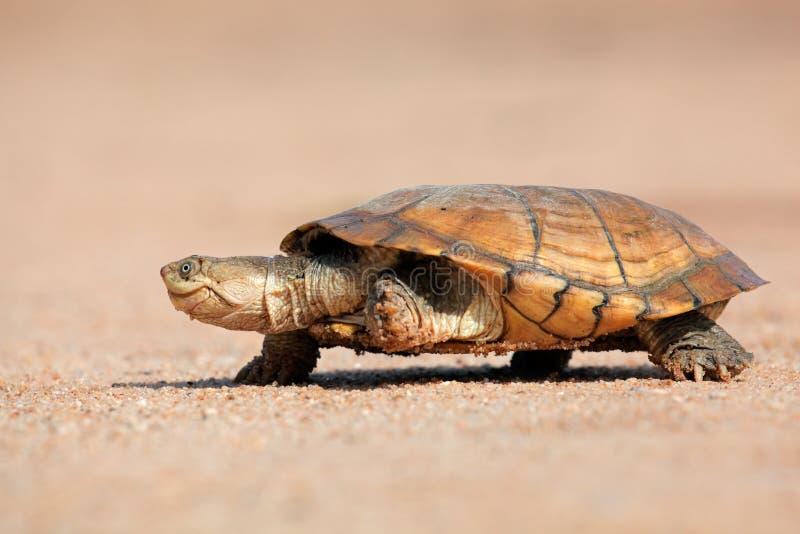 Behelmte Dosenschildkröte lizenzfreies stockbild