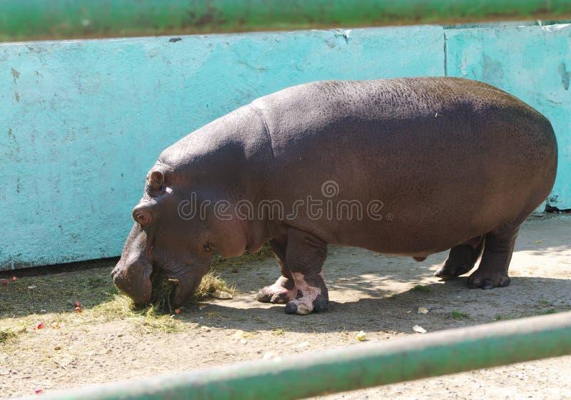 Behemoth In Zoo Stock Photography