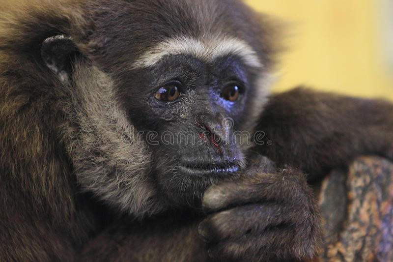 Behendige gibbon stock foto's