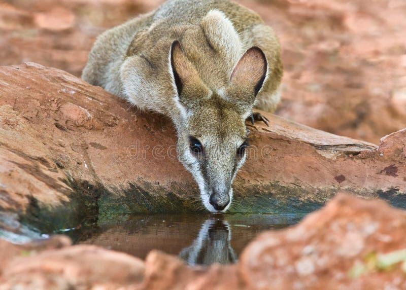 Behendige Wallaby die agilis Macropus drinkt stock foto's