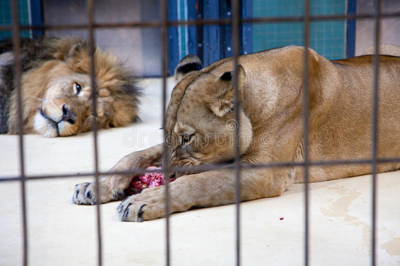 Behind Bars In A Zoo Royalty Free Stock Photos