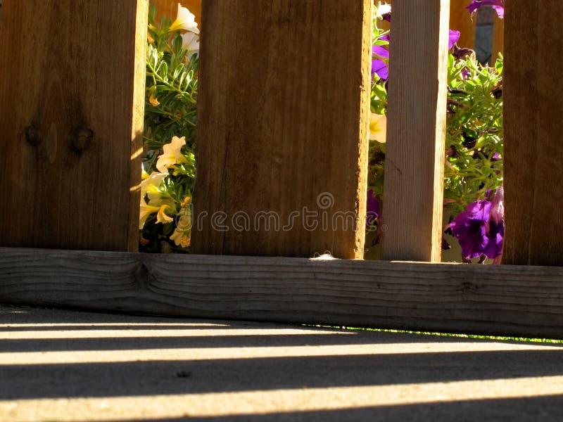 Behind The Fence. Colorful Summer Petunias Peeking Through The Wood Slat Fence stock photo