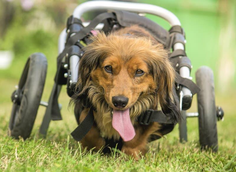Behinderter Dachshund in einem Rollstuhl, der draußen läuft lizenzfreie stockfotos