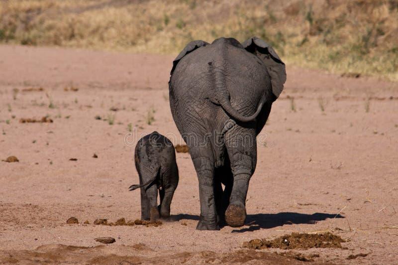 Behinds del elefante imagen de archivo libre de regalías