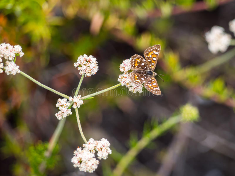 Behr's MetalMark Butterfly at Laguna Coast Wilderness Park. Laguna Coast Wilderness Park is a 7,000-acre (2,800 ha) wilderness area in the San Joaquin Hills royalty free stock photography