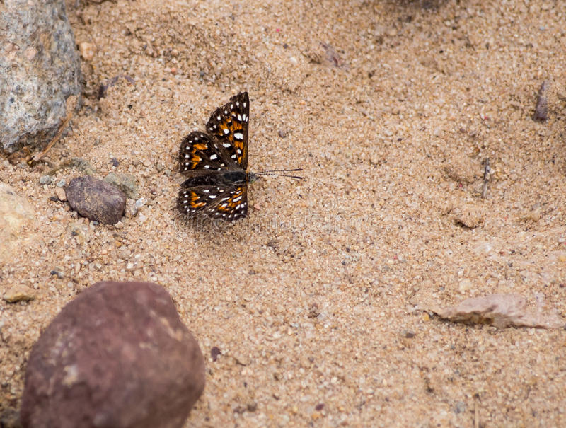 Behr's MetalMark Butterfly at Laguna Coast Wilderness Park, Laguna Beach, California. Characteristics: Dorsal wing surface black-brown and orange with numerous stock images