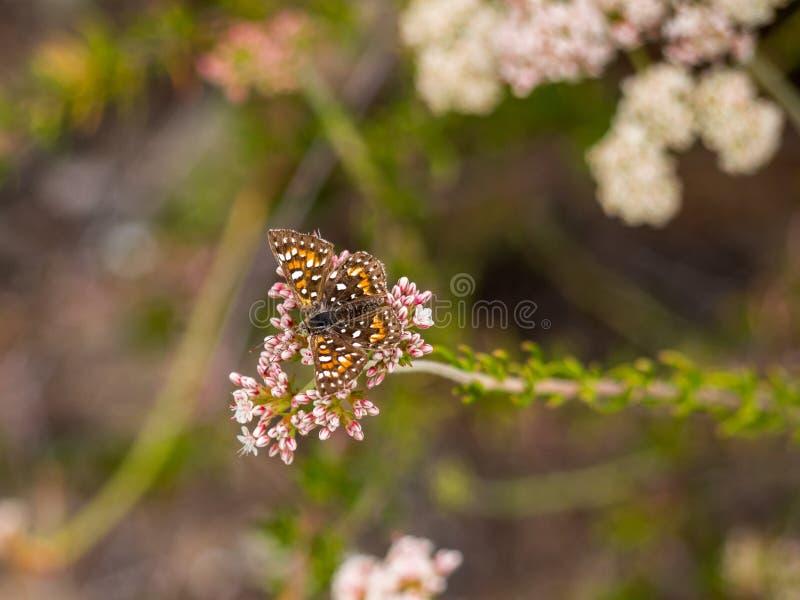 Behr's MetalMark Butterfly at Laguna Coast Wilderness Park, Laguna Beach, California. Characteristics: Dorsal wing surface black-brown and orange with numerous stock photo