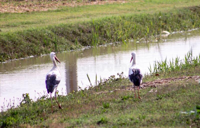 Bei aironi lungo un corso d'acqua che estiguono la loro sete nei gruppi che camminano tranquillamente Bei uccelli fotografie stock libere da diritti