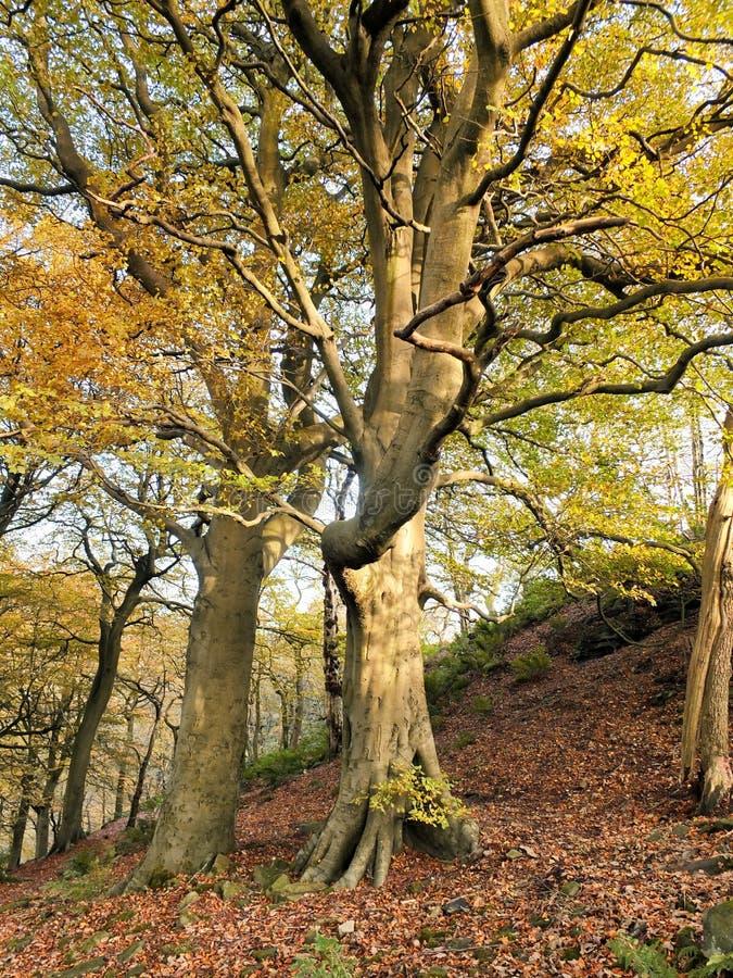 Bei alberi di faggio signorili alti di autunno che crescono su un pendio di collina ripido con le foglie che cominciano a girare  immagine stock libera da diritti