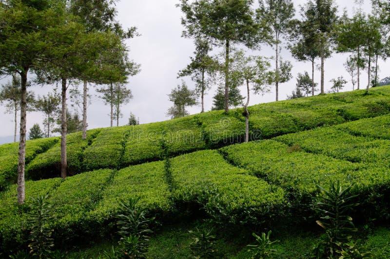 Bei azienda agricola ed alberi del tè fotografie stock
