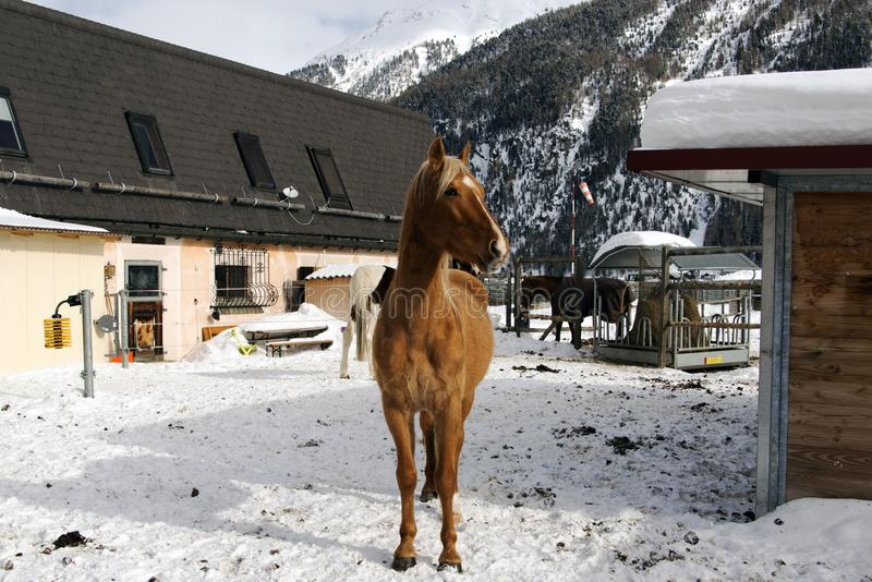 Bei cavalli che giocano nel granaio nelle alpi nevose Svizzera nell'inverno immagini stock