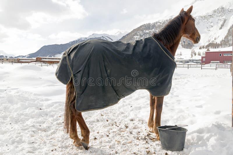 Bei cavalli che giocano nel granaio nelle alpi nevose Svizzera nell'inverno fotografie stock libere da diritti