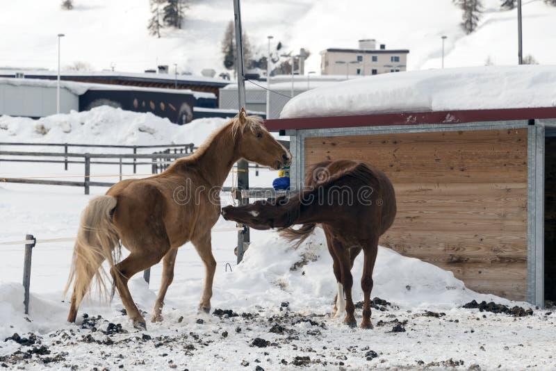 Bei cavalli che giocano nel granaio nelle alpi nevose Svizzera nell'inverno fotografia stock libera da diritti