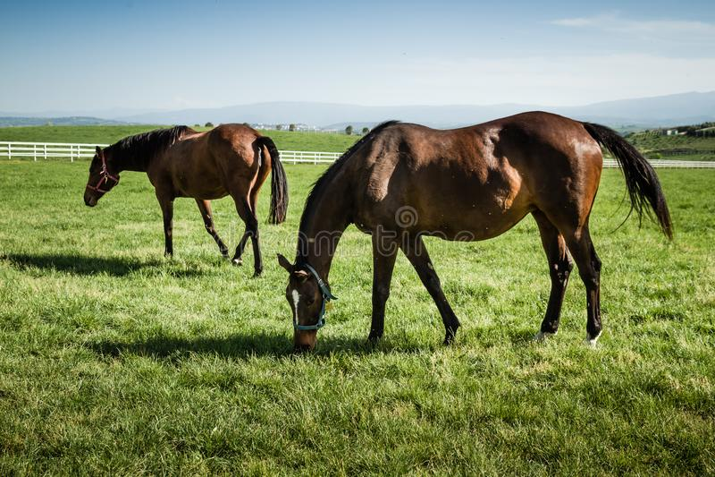 Bei cavalli che pascono nel prato fotografia stock