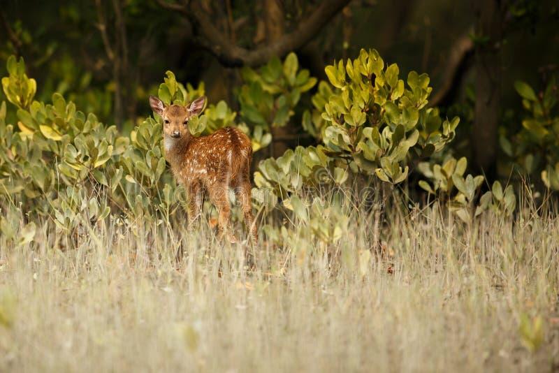 Bei cervi di asse dalla riserva della tigre di Sundarbans in India fotografie stock libere da diritti