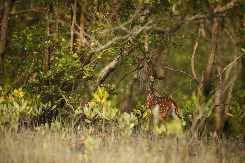 Bei cervi di asse dalla riserva della tigre di Sundarbans in India immagine stock