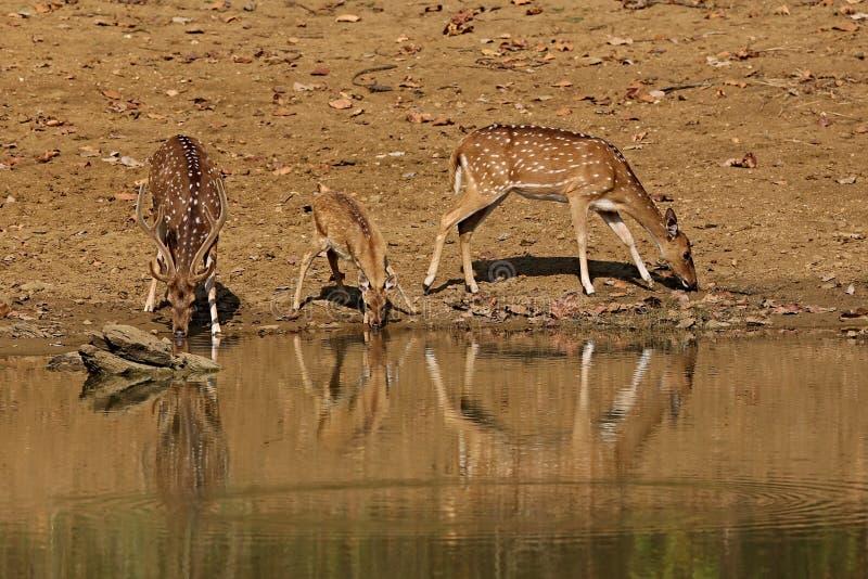 Bei cervi di asse nell'habitat della natura in India fotografie stock