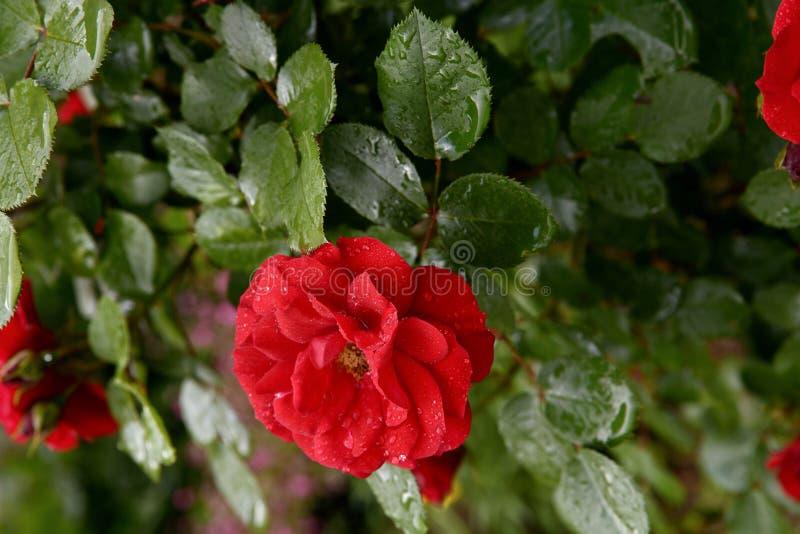 Bei cespugli di rosa rossa di fioritura in un giardino Fiori delle rose rosse con le gocce di acqua ai petali ed alle foglie nel  fotografie stock libere da diritti