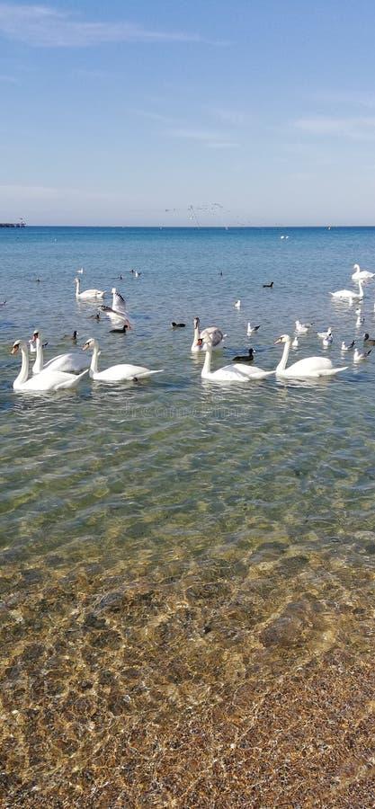 Bei cigni ed abbagliamento del sole sull'acqua di mare fotografia stock libera da diritti