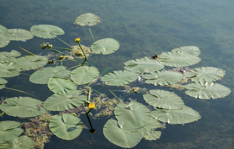 Il fiore di loto artificiale fotografia stock immagine for Stagno artificiale giardino