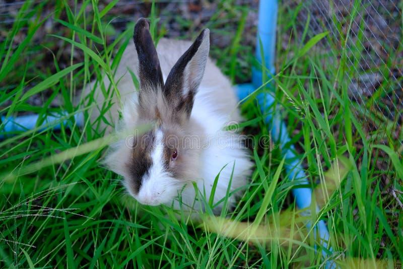 Bei conigli dell'Asia sul campo di erba verde immagini stock