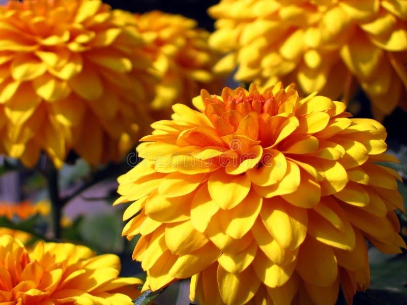 Bei crisantemi immagine stock