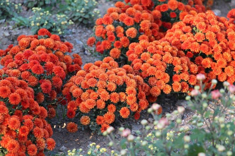 Bei crisantemi arancio in giardino fotografie stock