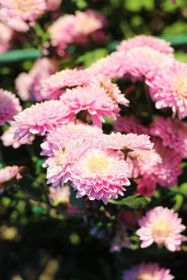 Bei crisantemi rosa in giardino fotografie stock