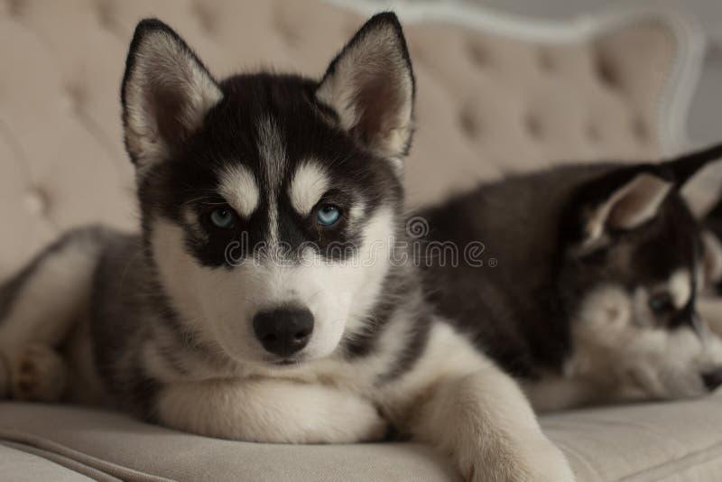 Bei cuccioli del husky osservati blu fotografie stock