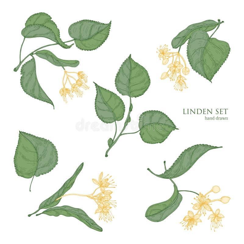 Bei disegni botanici dettagliati delle foglie verdi del tiglio e dei fiori gialli di fioritura Parti disegnate a mano di fioritur royalty illustrazione gratis