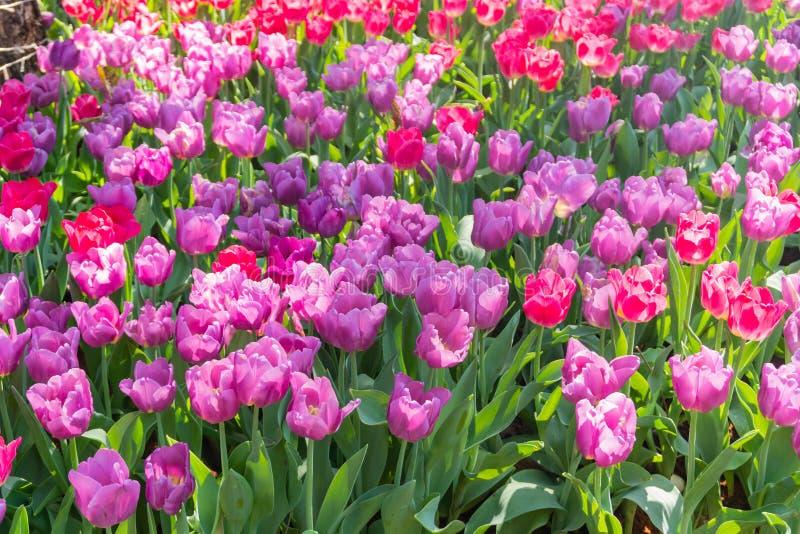 Bei e fiori variopinti dei tulipani che fioriscono in un giardino immagine stock