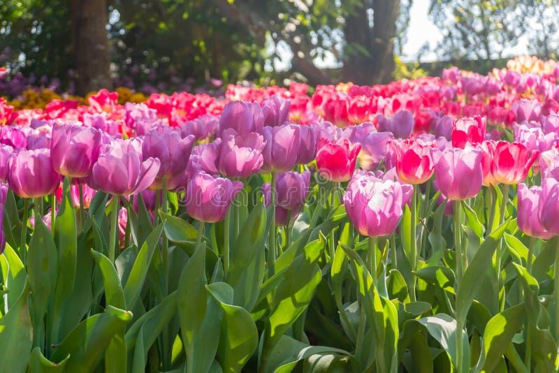 Bei e fiori variopinti dei tulipani che fioriscono in un giardino fotografia stock
