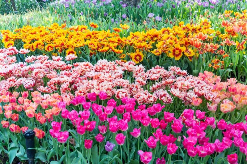 Bei e fiori variopinti dei tulipani che fioriscono in un giardino immagini stock