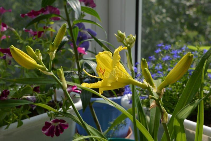 Bei fiore e germogli gialli dell'emerocallide in piccolo giardino sul balcone Bella progettazione di inverdimento fotografia stock