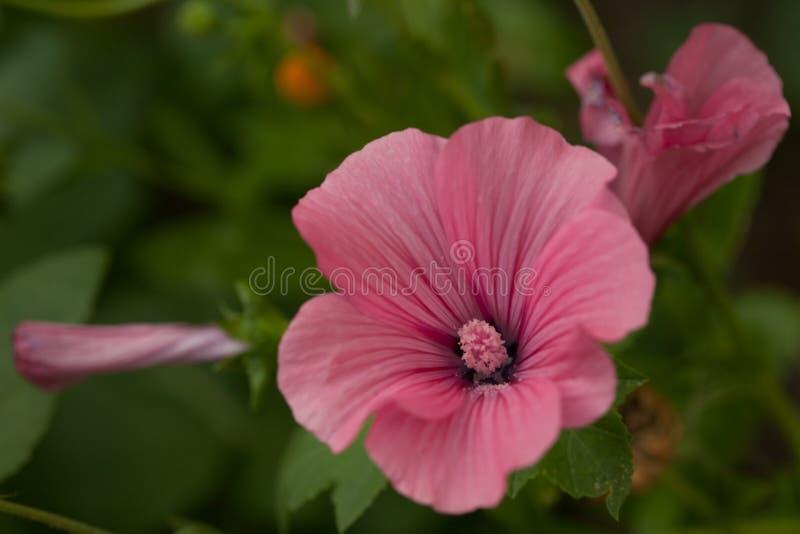 Bei fiore e germoglio del lavatera Fiore e germoglio rosa del lavatera nei precedenti verdi confusi immagini stock libere da diritti