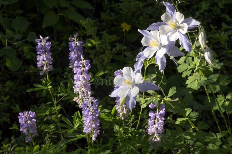 Bei fiori alpini di colombina di Colorado lungo la traccia di escursione della montagna di Vail fotografia stock libera da diritti