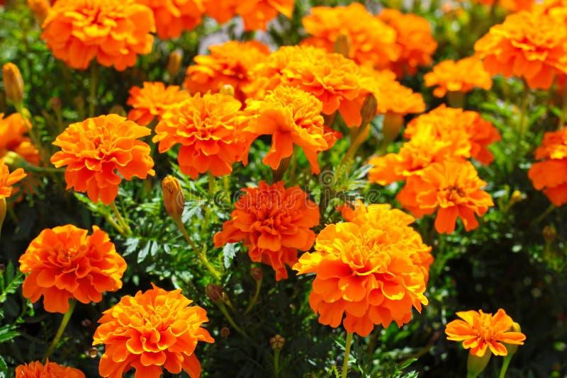 Bei fiori arancio fotografia stock libera da diritti