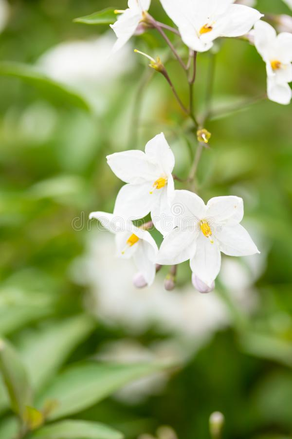 Bei fiori bianchi con gli stami gialli contro le foglie verdi fotografia stock