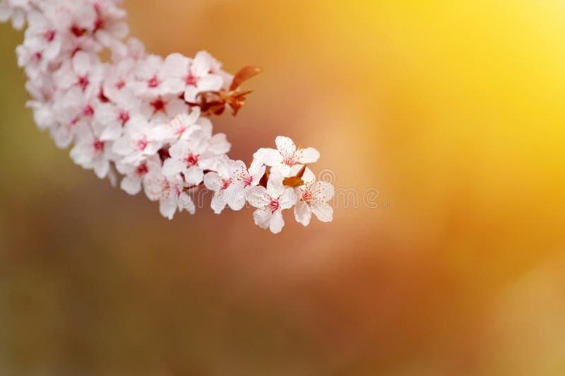 Bei fiori bianchi della prugna alla luce calda immagini stock libere da diritti