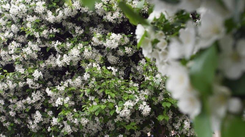 Bei fiori bianchi di fioritura degli arbusti Metraggio di riserva Tempo di primavera di fioritura, decorante gli arbusti verdi co fotografia stock