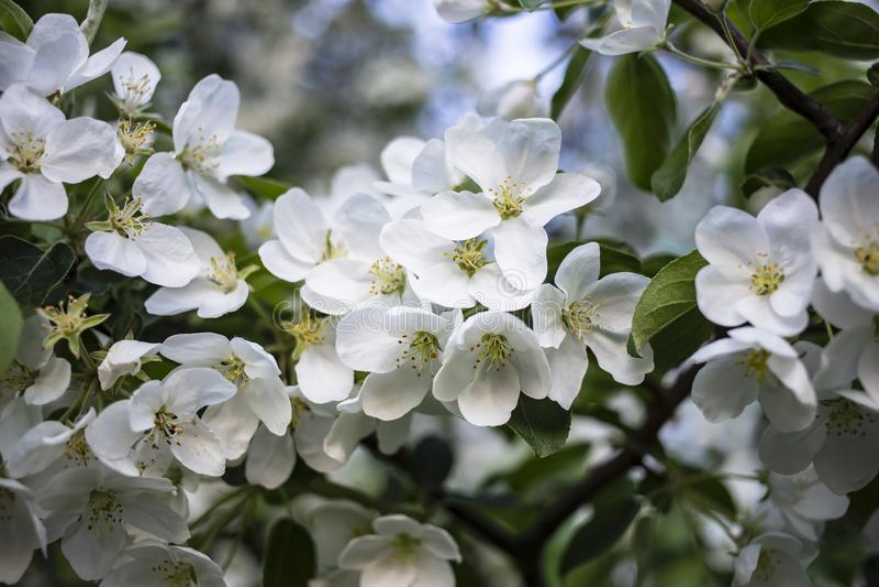 Bei fiori bianchi di di melo in fogliame verde, contro un cielo blu fotografia stock libera da diritti