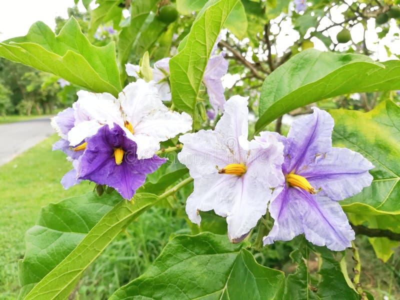 Bei fiori bianchi e viola di colore fotografie stock libere da diritti