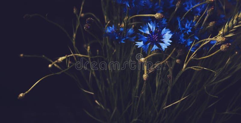 Bei fiori blu del fiordaliso su fondo nero Vettore astratto floreale Stile di arti Elementi botanici di estate del fiore annata immagine stock